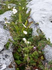 Flowers in the Burren