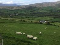 Sheep, coming closer
