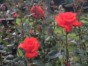 Red Roses of Tralee