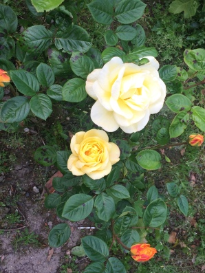 Yellow Roses or Tralee